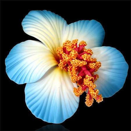 Blaue Hibiskus Haarklammer